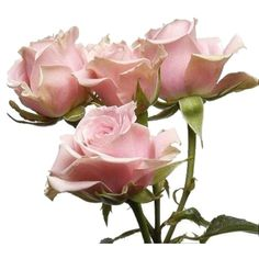 light pink spray rose - sweet sensation