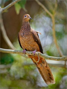 """The Slender-billed Cuckoo- #Dove, or Brown Cuckoo-Dove (Macropygia amboinensis) is a dove in the genus Macropygia. In Australia, it is sometimes called """"Brown Pigeon"""" or """"Pheasant Pigeon"""", but both are best avoided, as they can lead to confusion with the brown doves and the true Pheasant Pigeon. The taxonomy of the Slender-billed Cuckoo-Dove is disputed, and some authorities split it into two species"""