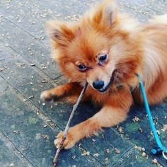 SUSHI  Day 14 #volpino #cucciolo #fox #cani  #castagna#volpinopomerania #fratellino #passeggiatamattutina #osso #rosso #birbantello#foglie#bellagiornata# #volpino #cucciolo #fox #cani #giardino #castagna#volpinopomerania #fratellino #passeggiatamattutina #osso #dormire #birbantello#foglie#bellagiornata#instadog #dogsofinstagram #puppy #puppylove #dog#lingua #shopping #lacyandpaws #inverno#capottino #dream #riposare #dog #dormire #montagna#pioggia by sushingram