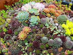 Just love the look of succulents massed together like this...