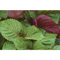 Britton (Shiso) - Eye-catching green leaves with red undersides. Good salad mix item, or use larger leaves as sushi wraps or garnishes.Mild mint/basil aroma. Also good for ornamental use. Leaves show best color contrast when grown in temperatures below 85ºF/29ºC. Also known as perilla. $3.95 200 seeds
