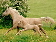 Palomino Dutch warmblood, KWPN, mare Vanilla V, and her look-a-like foal.