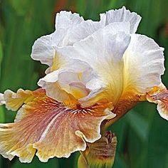 Caramel Latte Reblooming Iris