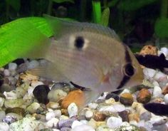 Keyhole Cichlids - how to breed this popular tropical fish