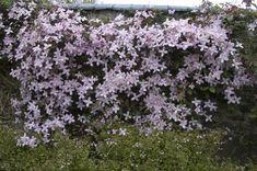 Clematis vines – Famous Last Words Shade Garden, Garden Plants, Daffodils, Tulips, Dahlias, Clematis Montana, Trachelospermum Jasminoides, Vine Trellis, Clematis Vine