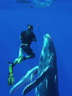 Humpback calves are naturally curious. This new-born whale in Vava'u, Tonga, has swum in to have what is probably its first close up look at a snorkeler.
