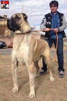 Anatolian Shepherd - Google Search