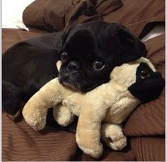 When pugs rule the world. Pug Stuffed Animals Will Be Everywhere Amor Pug, I Love Dogs, Puppy Love, Cute Dogs, Baby Animals, Funny Animals, Cute Animals, Pugs And Kisses, Tier Fotos
