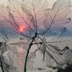 Pink sunset through a gray winter leaf