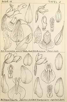 Holothrix praecox (top left)