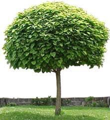 Feature tree for rear garden. Planted in lawn area. Mop-top (designer) maple. For children to play around.