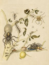 """genusspecies: by Maria Sibylla Merian. """"And artist Maria Sibylla Merian depicts a tarantula carrying a hummingbird, a meal too grand for any real spider. I hope Maria rises from the grave and sues Nature Publishing Group for libel. Botanical Art, Botanical Illustration, Illustration Art, Nature Illustrations, Botanical Gardens, Butterfly Flowers, Blue Butterfly, Real Spiders, Sibylla Merian"""