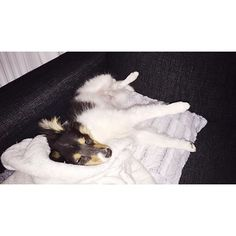 So tired pup. Time to sleep now, tomorrow it's friyay  #sheltiemilou