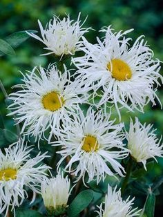 Chrysanthemum Old Court Variety