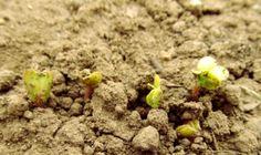 Rucola, rapanelli, piselli e cipolle: le prime coltivazioni nell'orto