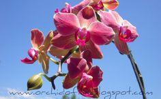 La prima orchidea di un neofita è quasi sempre una Phalaenopsis ed inevitabilmente la prima domanda che ci si pone è: come e quando innaffi...