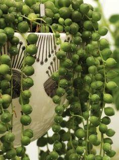 String of pearls plant plants суккуленты, растения, цветы Succulent Gardening, Cacti And Succulents, Planting Succulents, Container Gardening, Gardening Tips, Planting Flowers, Air Plants, Garden Plants, Indoor Plants