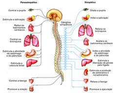 Sistema Nervoso: Medula e SNP