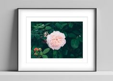 Limited edition signed photographic print by Anna Partington - 'Rose after rain' - Perfect pink rose in Devon Pink Rose Flower, Black Leaves, Perfect Pink, Epson, Anna, Artist, Prints, Handmade, Painting