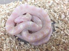 10 Best Pantherophis Guttatus images in 2016   Corn snake, Snakes