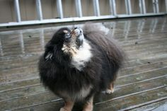 in the rain #rain #Seattle #Pomeranian