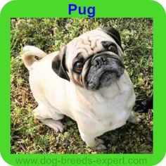Best Dogs for Kids – 16 dog breeds to check out Pug Calm Dog Breeds, Best Dog Breeds, Pug Information, Best Dogs For Kids, Companion Dog, Bichon Frise, Little Dogs, Dog Friends, Dog Owners