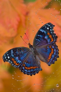 Gaudy Commadore butterfly caught in spider web • Darrel Gulin Photography