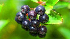 Arónie, sladká a zdravá: pěstování, sklizeň, sirup, víno, marmeláda… - Užitková zahrada