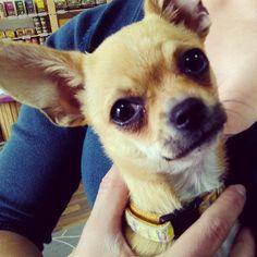 Cuddliest little chihuahua Liza.