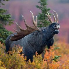 Wildlife Animals & Nature — . Photo by @berntosthus Rutting moose in fall...