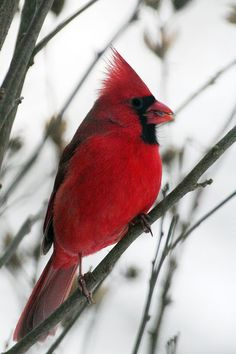 A beautiful male cardinal, this is a very special bird to me.#Repin By:Pinterest++ for iPad#