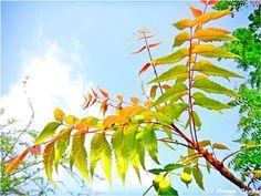 Neem leaves by Pravin Bagga
