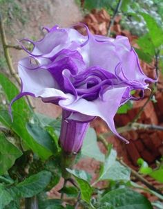 Purple Angel's Trumpet... These are really pretty... they grow more up than the normal Angel's Trumpet...