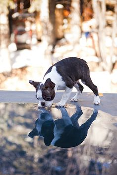 """Obtain terrific tips on """"boston terrier puppies"""". They are actually readily available for you on our site. Terrier Breeds, Terrier Puppies, Dog Breeds, Bull Terrier, Cute Puppies, Cute Dogs, Dogs And Puppies, Doggies, Bulldog Puppies"""