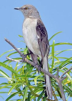 Mockingbird - part of a group of New World passerine birds from the Mimidae family. They are best known for the habit of some species mimicking the songs of other birds and the sounds of insects and amphibians, often loudly and in rapid succession. There are about 17 species in three genera.