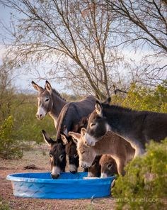 Burros drinking from the baby pool More photos of burros on the blog:…