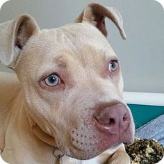 Walnut Creek, CA - I'm Polly, Adopt Me! Pit Bull Terrier Mix | Young | Female 8-month-old Polly is a very sweet, shy girl who is a late bloomer socially and might feel worried in unfamiliar contexts. She is looking for a kindhearted adopter who will give her all the time she needs to acclimate to a new situation and offer her ongoing opportunities to continue learning all the joys of a typical dog's life. Polly does warm up quickly and becomes your lifelong friend once you show her your…