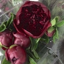 Red Charm Peony, a more burgundy than true red color. These peonies come in from New Zealand during the winter months. Christmas Arrangements, Burgundy Flowers, Seasonal Flowers, True Red, Colorful Garden, Winter Months, Peony, Red Color, Tropical
