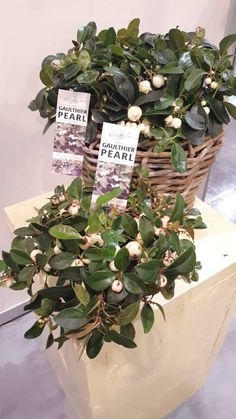 Gaultheria Gaulthier Pearl at IPM in Essen 2016