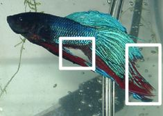#Fin Rot in #Betta Fish - Care and Treatment can be found here!