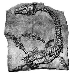 """Mary Anning (May 1799 - March the discoverer of the first ichthyosaur, plesiosaur and of the first complete Pterosaur. I just read """"Remarkable Creatures"""" by Tracy Chevalier, a novel about her life. So worth it! Dinosaur Bones, Dinosaur Fossils, Reptiles, Fossil Hunting, Lyme Regis, Fossil Handbags, Extinct Animals, Prehistoric Creatures, Rocks And Minerals"""