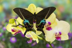 Krishna Swallowtail Butterfly orchid photograph by: Darrell Gulin