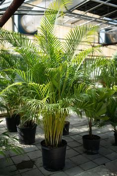 100 palm plants for your home and patio