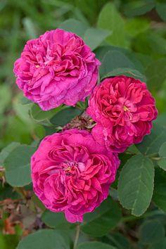Rosa x bifera 'Rose de Rescht' Pre 1900 Portland/Damask simolanrosario.com