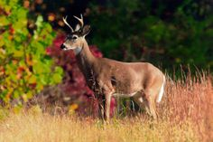 Deer in Innsbrook www.innsbrook-resort.com
