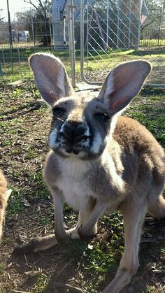 One of San Antonio Zoomagination's cute and exotic animals! What an adorable red kangaroo joey!