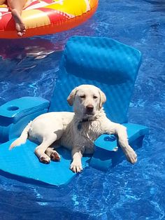 The Dog Days of Summer - Tips for Keeping your Labrador Cool. | It's a Lab Thing