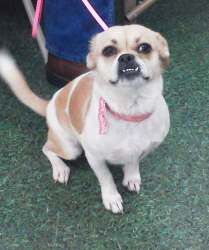 Sugar is an adoptable Pug Dog in San Angelo, TX. Adoption requirements: 1. Must be 18 years of age or have approval from a parent or guardian. 2. Adopters that rent their home must give landlord's inf...