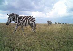 Zebra parade! Animals, Animales, Animaux, Animais, Animal