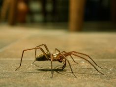 Spearhead pest control is pest removal service provider. And the spider is a pest which can give a nasty venomous bite. If you require help regarding spider pest control. Talk to us we are professionals in pest control. House Spider Uk, Keep Spiders Away, Household Pests, Funny Text Posts, Weather Network, Fly Traps, College Humor, Human Behavior, Cleaning